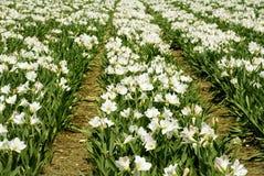 Amaryllis blanco Foto de archivo libre de regalías