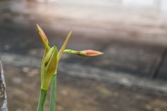 Amaryllis-bloem na regen met dauw royalty-vrije stock afbeelding