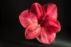 Amaryllis-bloem op donkere achtergrond stock afbeelding