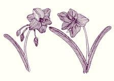 Amaryllis-bloem, stam met bladeren en bloesem, hand getrokken krabbeloverzicht, vectorillustratie stock illustratie