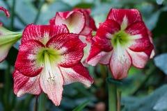 Amaryllis blomma i de tropiska djunglerna Royaltyfria Bilder