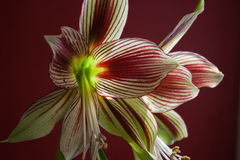 Amaryllis blommar mot den röda väggen Fotografering för Bildbyråer