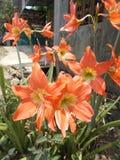 Amaryllis blommaträdgård Royaltyfria Bilder