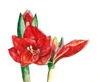 Amaryllis blommavattenfärg Fotografering för Bildbyråer