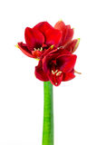 Amaryllis Bloom Stock Afbeelding