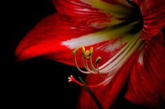 Amaryllis bloom, red against black background royalty free stock photo
