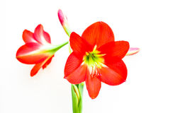 Amaryllis. Blooming amaryllis isolated on white background Stock Image