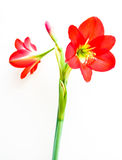 Amaryllis. Blooming amaryllis isolated on white background Royalty Free Stock Photography