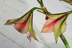 Red-striped amaryllis blooms on tall stalks. These amaryllis blooms show us their more demure side as they open on their tall stalks. Pale green gives way to royalty free stock images