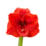 Amaryllis Royalty Free Stock Photos