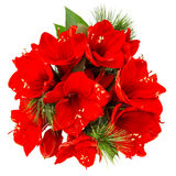 Amaryllis blossoms. Red christmas flowers bouquet Royalty Free Stock Photos