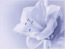 Amaryllis on blue. Closeup of a lovely white amaryllis flower with a soft blue overlay Royalty Free Stock Photos