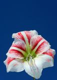 Amaryllis on blue sky Stock Images