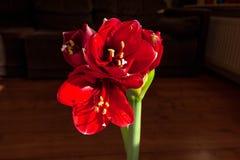 Amaryllis-Blume, die seine schönen roten Farben reflektiert, um das Wohnzimmer zu verzieren lizenzfreies stockfoto