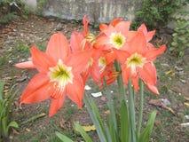 Amaryllis-Blumengarten Stockfoto