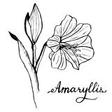 Amaryllis Botany Illustration Royalty Free Stock Image