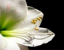 Amaryllis branca Foto de Stock Royalty Free
