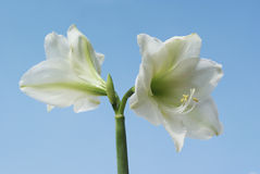 Amaryllis branco. Imagens de Stock