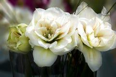 Amaryllis branco Foto de Stock