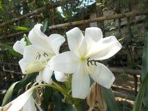 Amaryllis branco Fotos de Stock Royalty Free
