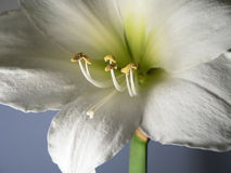 Amaryllis branco no fundo azul fotos de stock royalty free