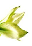 Amaryllis bud Stock Photo