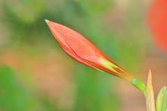 Amaryllis Bud - blühender Blumen-Hintergrund - Weihnachtswunsch Lizenzfreie Stockbilder