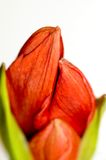 Amaryllis Buds. Red amaryllis, just beginning to bud royalty free stock images