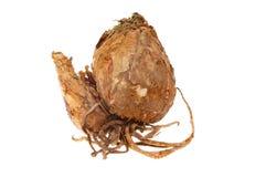 Amaryllis bulb Stock Photo