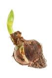 Amaryllis bulb isolated Stock Photo