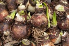 Amaryllis bulb Stock Images