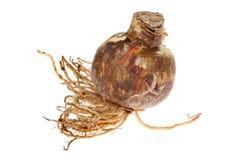 Amaryllis bulb Royalty Free Stock Photography
