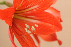 Amaryllis bulbs of red color Stock Photos