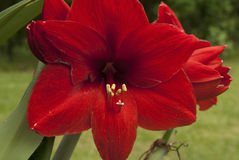 Amaryllis. This is a close up shot of a Red Amaryllis bloom with green lawn and forest background Royalty Free Stock Photo