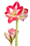 Amaryllis Closeup Stock Photos