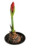 Amaryllis dans le bac Photographie stock