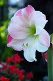 Amaryllis de fleur d'Apple photo stock