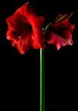 Amaryllis de la flor Imagen de archivo