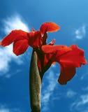 Amaryllis del cielo blu Fotografie Stock Libere da Diritti