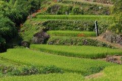 Amaryllis des gisements en terrasse de riz Image stock