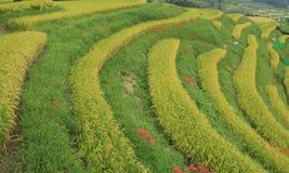 Amaryllis des gisements en terrasse de riz Photo stock