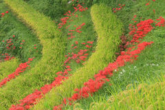 Amaryllis des gisements en terrasse de riz Photos stock