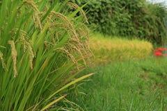 Amaryllis des gisements en terrasse de riz Image libre de droits