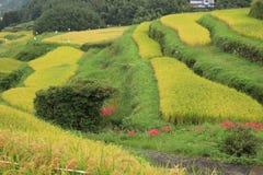 Amaryllis des gisements en terrasse de riz Images libres de droits