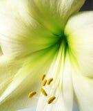 Amaryllis Detail Royalty Free Stock Images