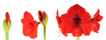 Amaryllis di fioritura immagini stock