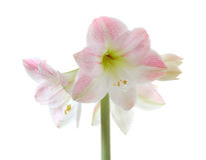 Amaryllis di fioritura Fotografia Stock