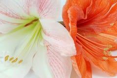 Amaryllis dos Imagenes de archivo