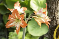 Amaryllis are the easiest to bring to bloom. Of all flowering bulbs, amaryllis are the easiest to bring to bloom. This can be accomplished indoors or out, and Stock Image