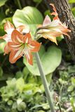 Amaryllis are the easiest to bring to bloom. Of all flowering bulbs, amaryllis are the easiest to bring to bloom. This can be accomplished indoors or out, and Royalty Free Stock Images
